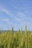 Wheat Green