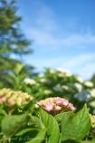 紫陽花と青空