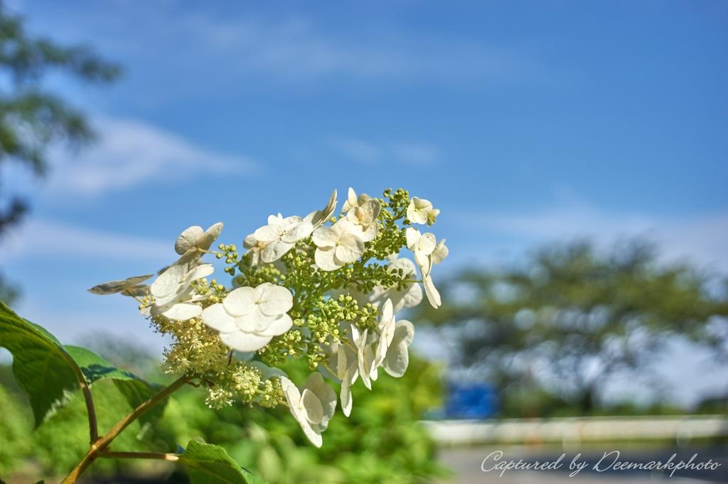 紫陽花と青空...柏葉