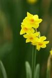 新春に咲く