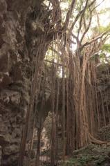 ガジュマルの大樹