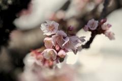 熱海ではもう桜が