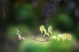 つぼみと若葉