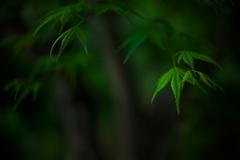 枝垂れ若葉
