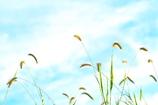 エノコログサと水色の空