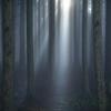 杉林の光芒1