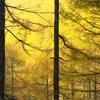 カラマツ林は黄金色2