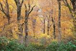 ブナ林秋景色