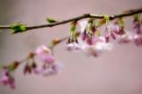スイスの桜 7