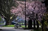 スイスの桜 4