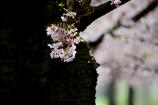 スイスの桜 5