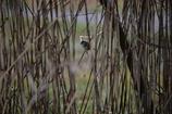 ヨーロッパコマドリ