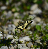 スイスのアゲハチョウ