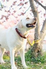 八重桜と犬…