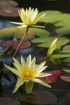 神代植物公園の花達‐熱帯スイレン・エルドラド