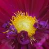 秋田のダリア‐蕊の魅惑8