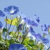 花散歩‐青空にソライロアサガオ