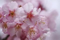 ちょっとお先に-寒桜3