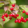 秋の実が熟れた‐ミヤマガマズミ