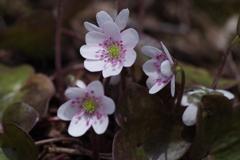 早春に咲く‐オオミスミソウ1