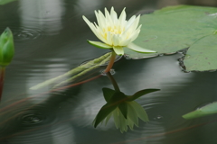 神代植物公園の花達-熱帯スイレン1
