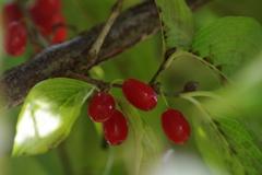 晩秋の赤い実-サンシュユ