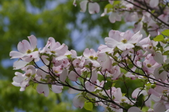 花散歩‐花水木・桃