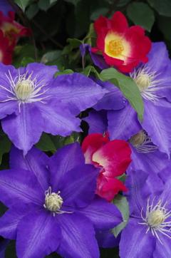 花散歩‐バラとクレマチス