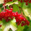 秋の実が熟れた‐カンボク