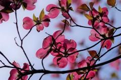 花散歩‐花水木を見上げて