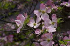花散歩‐ピンクの花水木