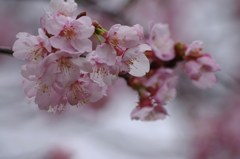 ちょっとお先に-寒桜1