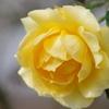 初冬のバラ‐ゴールドバニー