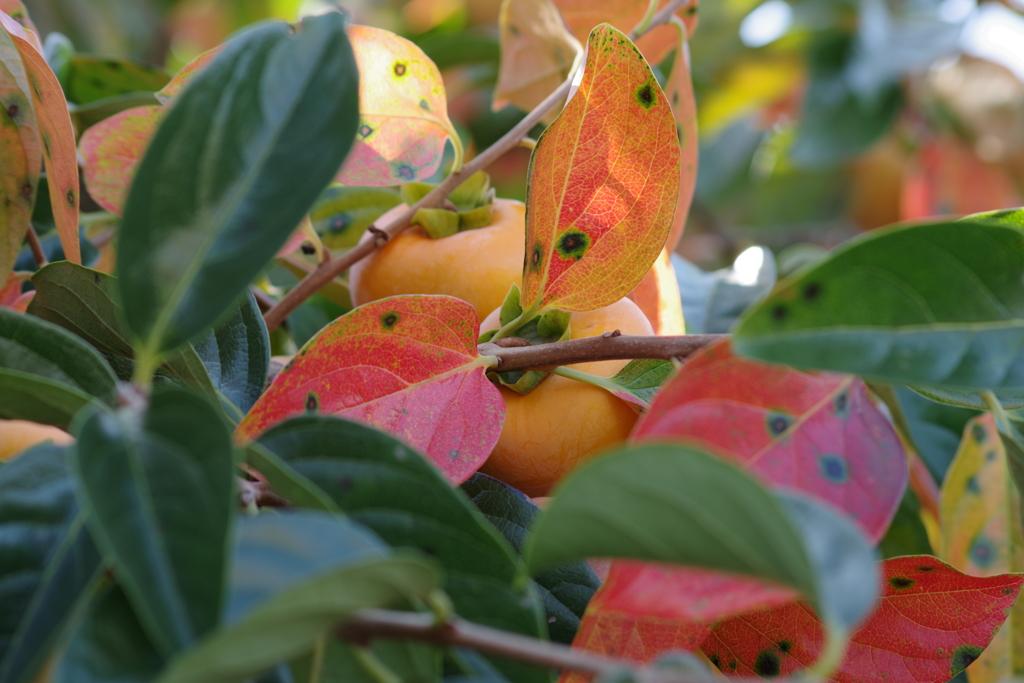 秋の実り‐色づいた葉陰のかくれんぼ