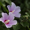 花散歩‐ピンクのムクゲ