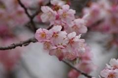 ちょっとお先に-寒桜2