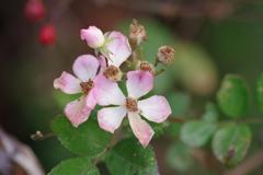 花散歩‐小さな小さな薔薇