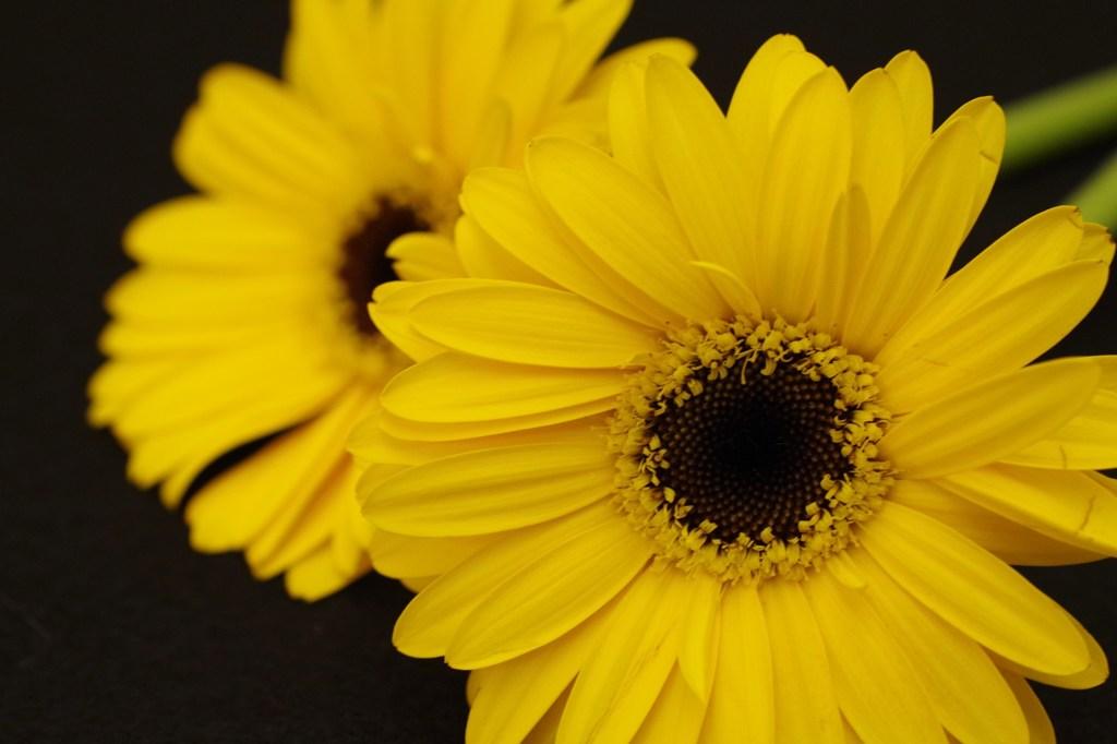 西洋黄色いガーベラ23
