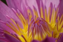 神代植物公園の花たち-熱帯スイレン2