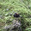 クロツグミ