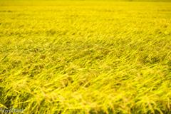 黄金色の季節