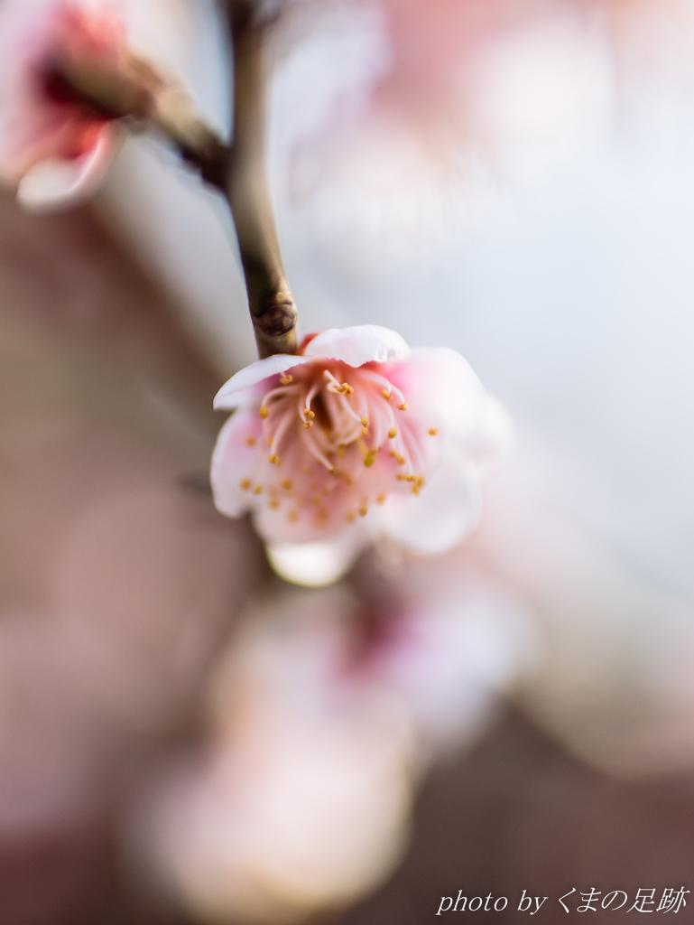 ほのかに春:OLY 45mm F1.8