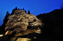 Twilight Millennuim Cherry blossoms