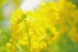 ベランダの小さな世界で ~幸福の黄色いハルハナ~