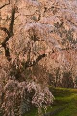 光耀の瀧桜