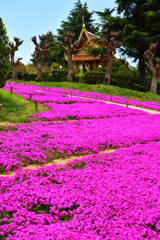芝桜のあるタイ庭園