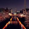目黒 夜桜