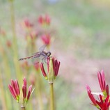Dragonfly on Lycoris flower bud