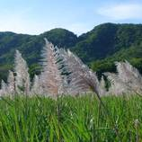 Sugarcane (サトウキビ)
