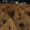 Rice straws after harvest
